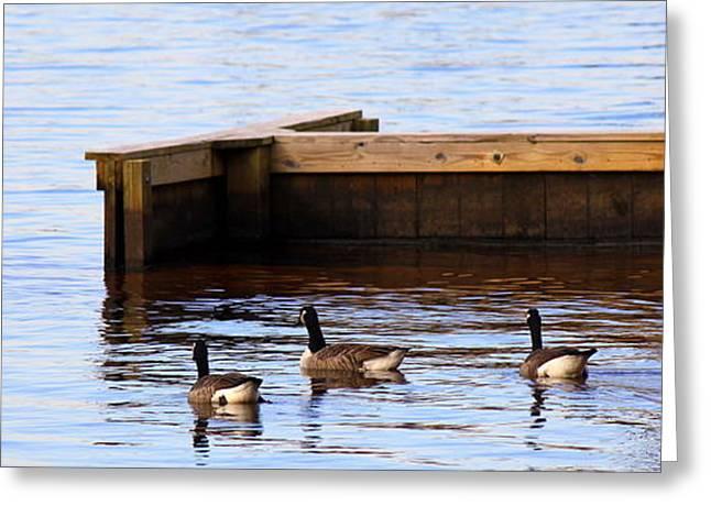 Geese Swimming Greeting Card by Carolyn Ricks