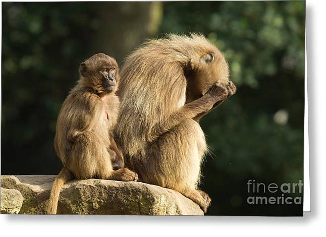 Sitting On Rock Greeting Cards - Gelada Baboons Greeting Card by Helmut Pieper