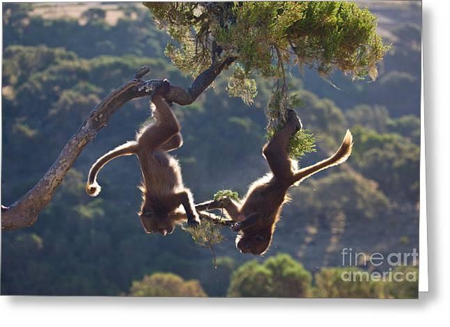 Headfirst Greeting Cards - Gelada Baboons Playing Greeting Card by Juan-Carlos Muñoz