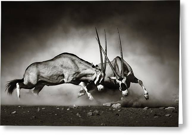 Active Greeting Cards - Gemsbok fight Greeting Card by Johan Swanepoel