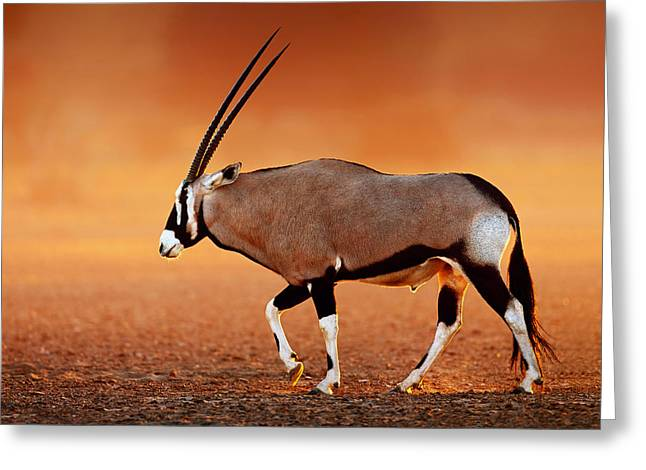Open Photographs Greeting Cards - Gemsbok on desert plains at sunset Greeting Card by Johan Swanepoel