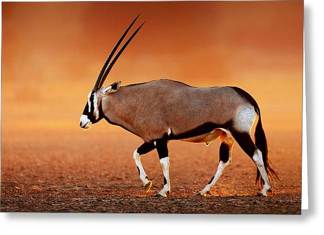 Outdoor Images Greeting Cards - Gemsbok on desert plains at sunset Greeting Card by Johan Swanepoel