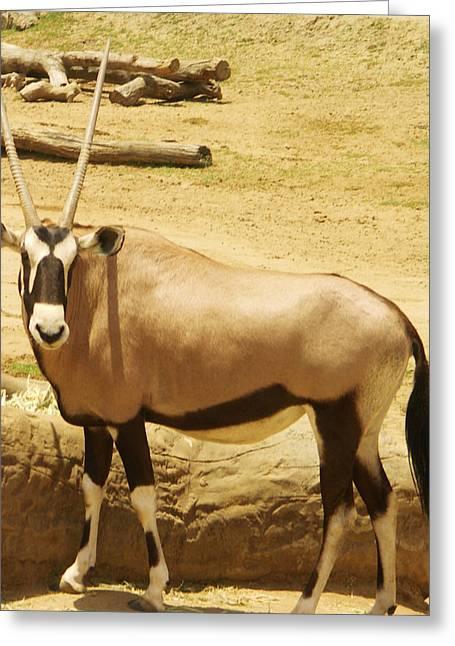 Gemsbok (oryx Gazella) Greeting Cards - Gemsbok Greeting Card by Thomas Preston