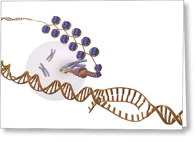 Double Stranded Greeting Cards - Gene expression, artwork Greeting Card by Science Photo Library