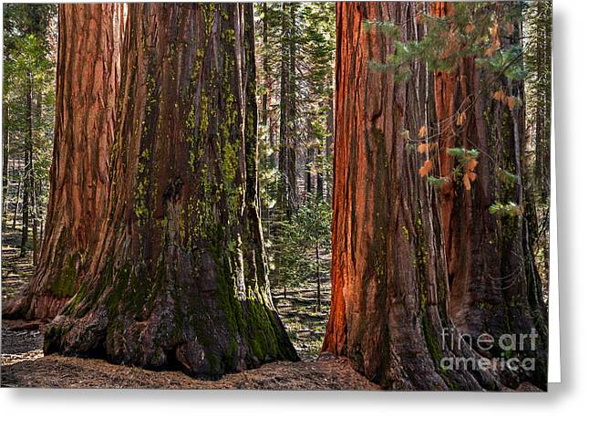 Morning In A Pine Forest Greeting Cards - Gentle Giants Greeting Card by Kim Price