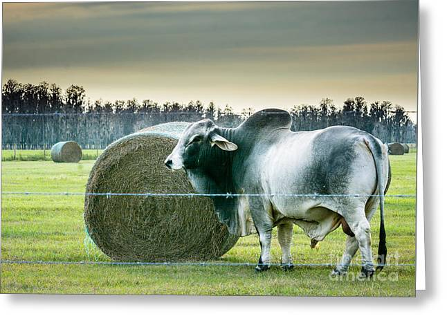 Brahma Bull Greeting Cards - Gentle King  Greeting Card by Kathy Liebrum Bailey