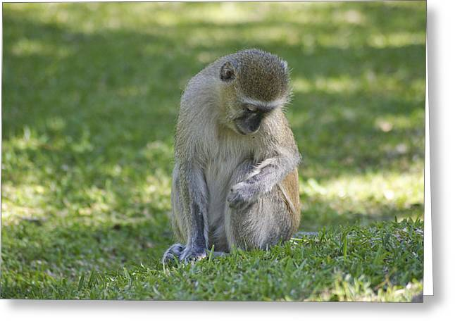 Close Focus Nature Scene Greeting Cards - Gentle Vervet Monkey  Greeting Card by Brian Kamprath