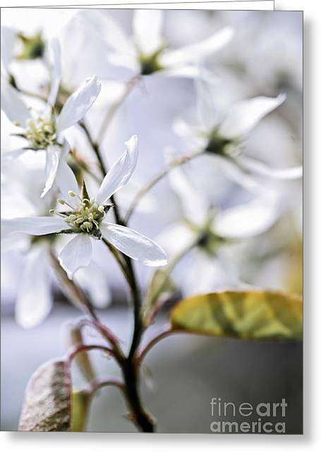 White Photographs Greeting Cards - Gentle white spring flowers Greeting Card by Elena Elisseeva