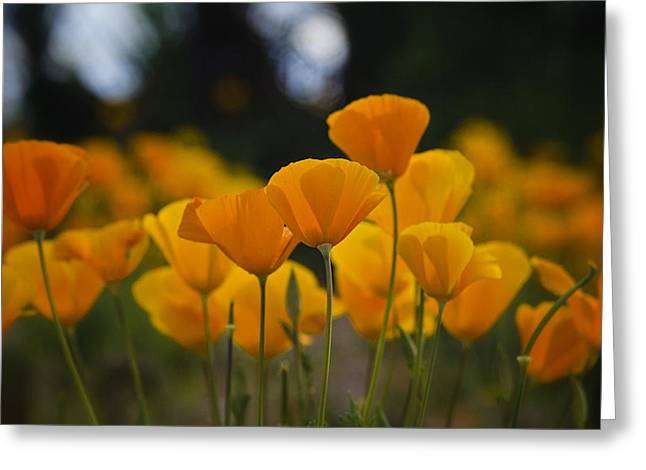 Golden Poppies Greeting Cards - Gently Swaying in the Wind  Greeting Card by Saija  Lehtonen