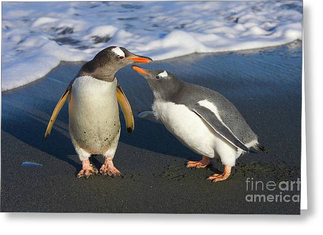 Gentoo Penguin Chick Begging For Food Greeting Card by Yva Momatiuk and John Eastcott