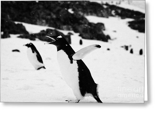 Cooling Off Greeting Cards - Gentoo Penguin Cooling Down With Wings Outstretched Calling In Colony On Cuverville Island Antarctic Greeting Card by Joe Fox