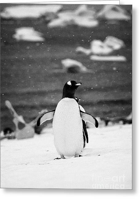 Cooling Off Greeting Cards - Gentoo Penguin Cooling Down With Wings Outstretched In Gentoo Penguin Colony On Cuverville Island An Greeting Card by Joe Fox