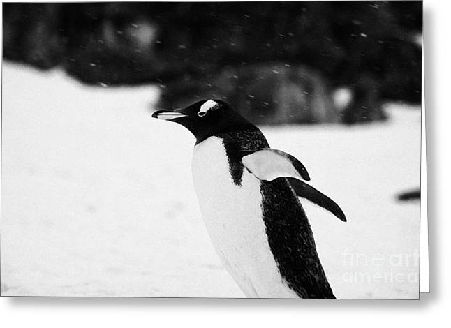Cooling Off Greeting Cards - Gentoo Penguin Cooling Down With Wings Outstretched In Snowstorm On Cuverville Island Antarctica Greeting Card by Joe Fox