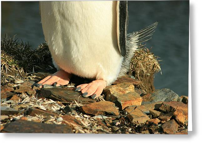 Brushtail Greeting Cards - Gentoo Penguin Feet Greeting Card by Amanda Stadther