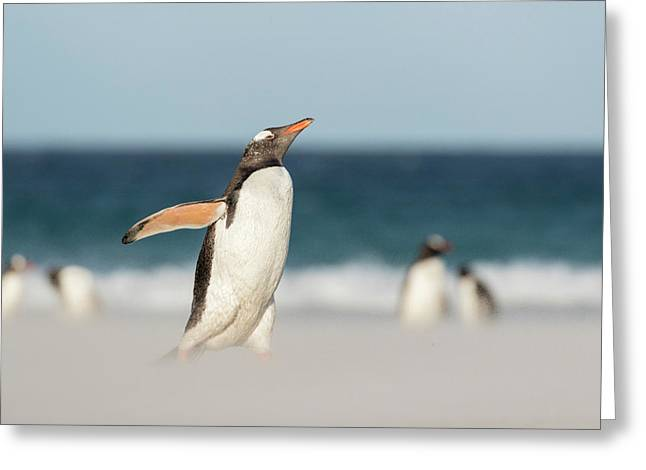 Gentoo Penguin (pygoscelis Papua Greeting Card by Martin Zwick