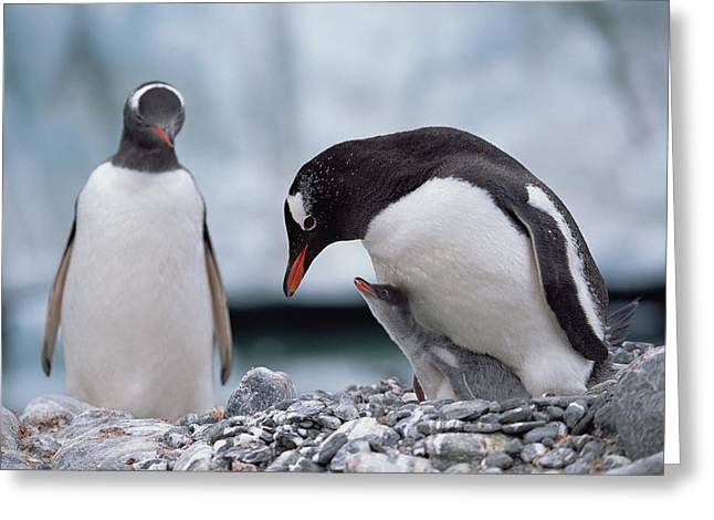 Gentoo Penguin With Chick Begging Greeting Card by Konrad Wothe