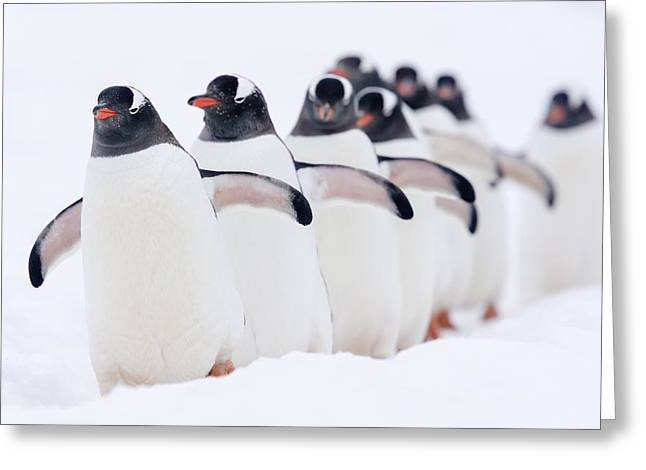 Gentoo Penguins In Line Cuverville Greeting Card by Alex Huizinga