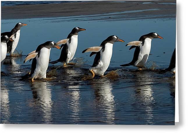 Falkland Islands Greeting Cards - Gentoo Penguins Walking Greeting Card by Hiroya Minakuchi