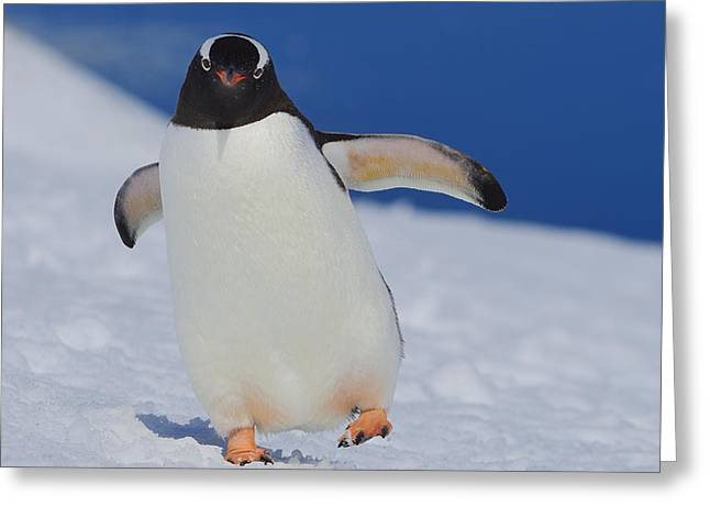 Tuxedo Greeting Cards - Gentoo Waddle Greeting Card by Tony Beck