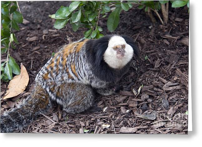 Tufted Ears Greeting Cards - Geoffreys Marmoset Greeting Card by Mark Newman