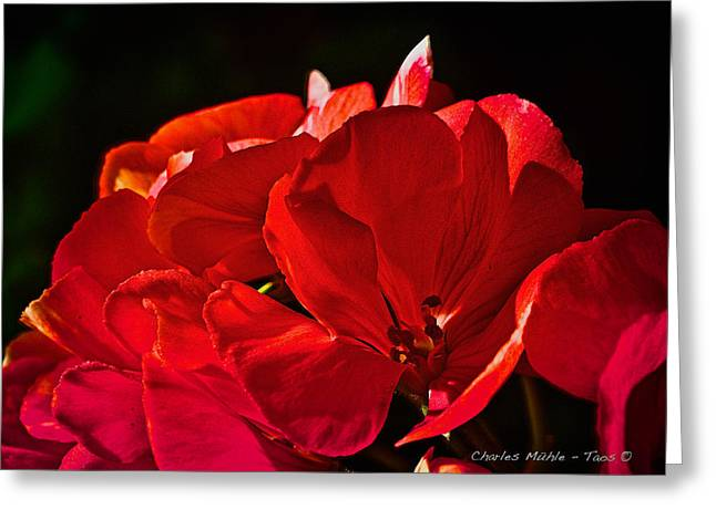 Red Geraniums Mixed Media Greeting Cards - Geranium   Greeting Card by Charles Muhle
