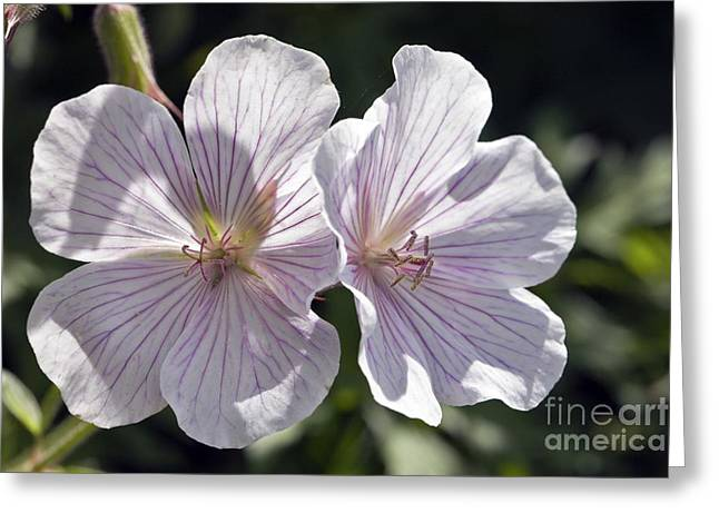 Geranium Flower Close Up Greeting Cards - Geranium Clarkei kashmir White Greeting Card by Dr Keith Wheeler