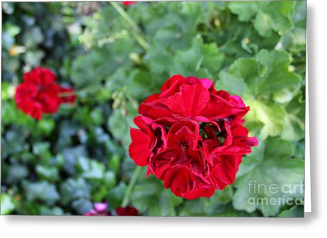 Geranium Flower Greeting Card by Corey Ford