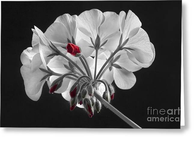 Red Geranium Greeting Cards - Geranium Flower In Progress  Greeting Card by James BO  Insogna