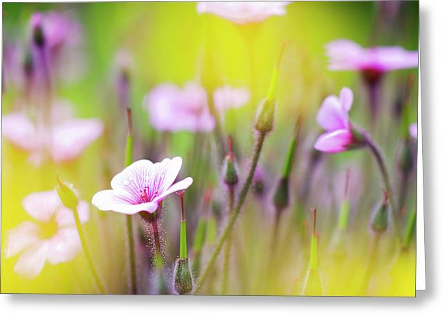Geranium Flower Close Up Greeting Cards - Geranium Greeting Card by Heiko Koehrer-Wagner