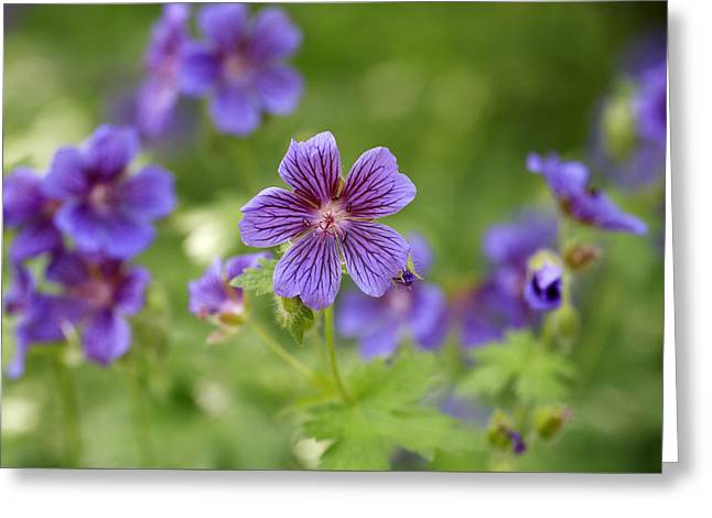Flowers Posters Greeting Cards - Geranium Himalayense Greeting Card by Frank Tschakert