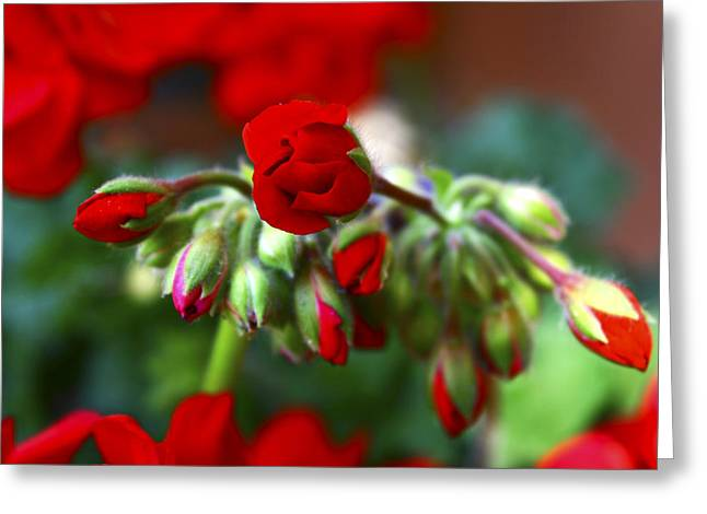 Red Geraniums Greeting Cards - Geranium in Red Greeting Card by Veronica Vandenburg