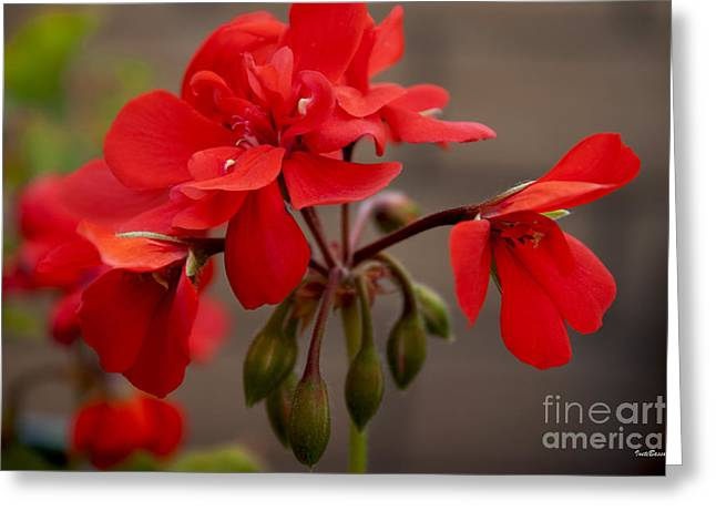 Red Geraniums Greeting Cards - Geranium Greeting Card by Ivete Basso