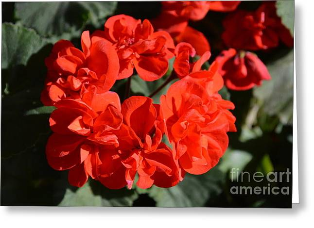 Red Geraniums Mixed Media Greeting Cards - Geranium   Greeting Card by Loretta Bueno