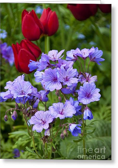 Geranium Flower Close Up Greeting Cards - Geranium Malviflorum And Tulipa Greeting Card by Carol Casselden