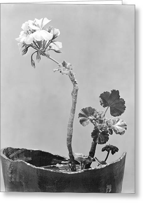 Mexico City Photographs Greeting Cards - Geranium, Mexico City, C.1924 Greeting Card by Tina Modotti