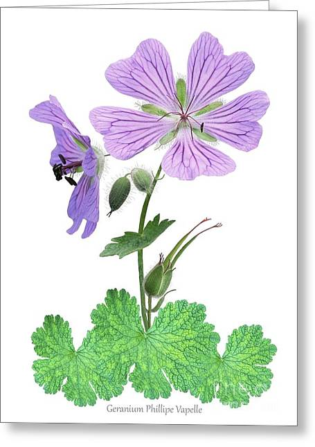 Geranium Flower Close Up Greeting Cards - Geranium phillipe Vapelle Greeting Card by Archie Young