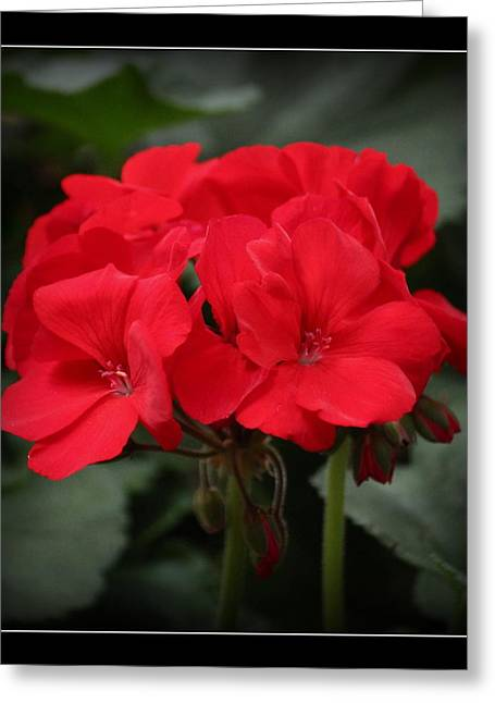 Red Geraniums Greeting Cards - Geranium Red Standout Greeting Card by Rosanne Jordan
