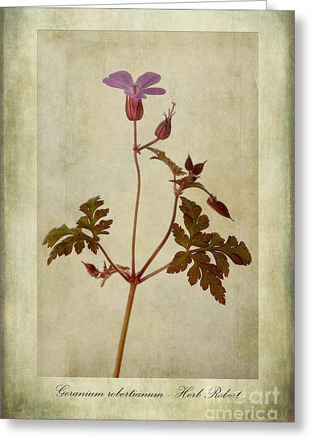 Stamen Digital Art Greeting Cards - Geranium robertianum Greeting Card by John Edwards