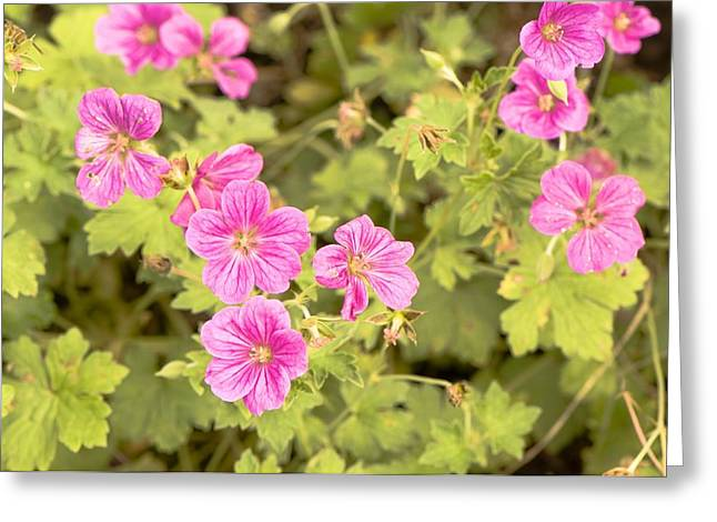 Geranium Flower Close Up Greeting Cards - Geranium x riversleaianum Greeting Card by Science Photo Library