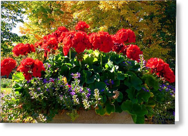 Red Geraniums Greeting Cards - Geraniums Greeting Card by Cristina Stefan