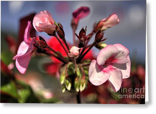 Red Geraniums Greeting Cards - Geraniums  Greeting Card by Rob Hawkins