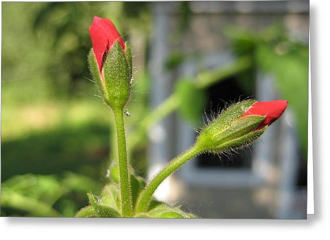 Red Geraniums Greeting Cards - Geraniums Greeting Card by Robin Vargo