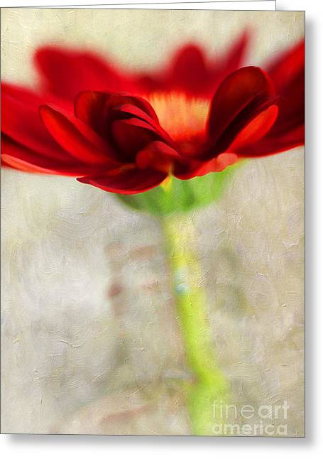 Abloom Greeting Cards - Gerber Beauty Greeting Card by Darren Fisher