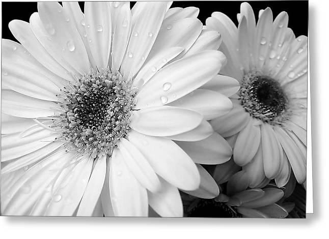 Gerber Daisies In Black And White Greeting Card by Jennie Marie Schell