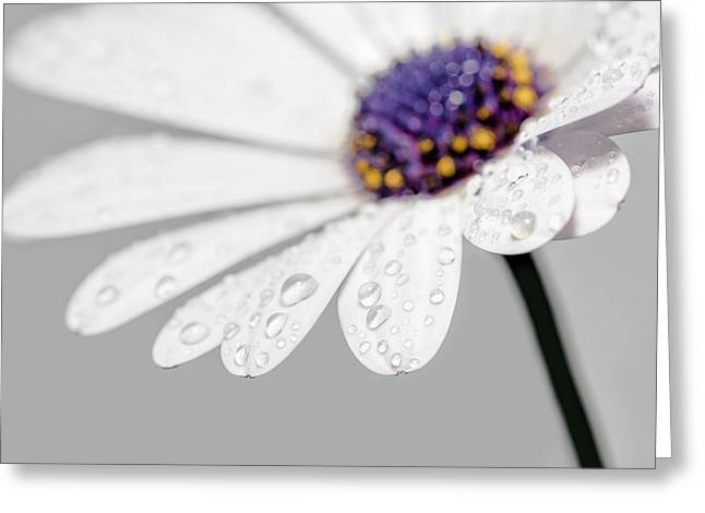 Petals With Droplets Greeting Cards - Gerbera Daisy - Macro Greeting Card by Sharon Norman