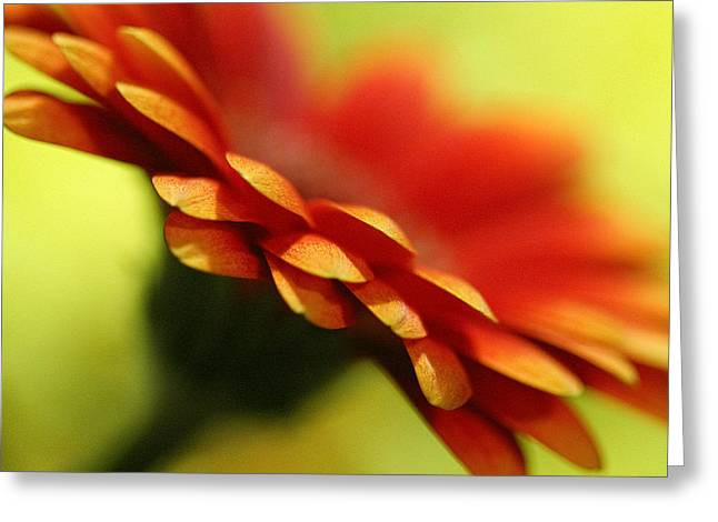 Nature Study Digital Greeting Cards - Gerbera Daisy Flower II Greeting Card by Natalie Kinnear