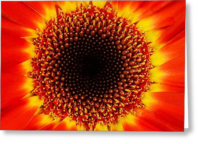African Flower Greeting Cards - Gerbera Daisy Greeting Card by Jim Hughes