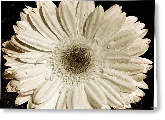 Gerber Greeting Cards - Gerbera Daisy Greeting Card by Mark Ashkenazi