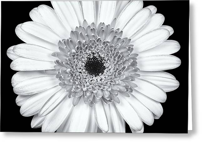 Barberton Daisy Greeting Cards - Gerbera Daisy Monochrome Greeting Card by Adam Romanowicz