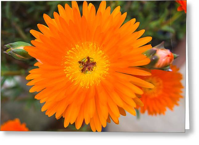 Gerbera Flower Greeting Card by Giovanni Bertagna